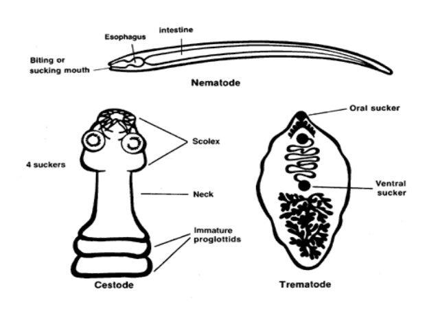 platyhelminthes 2 cestoda munkalap endometrium rák fiatal korban
