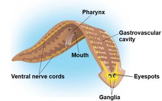 aschelminthes jelentése gyógynövény vastagbél méregtelenítő