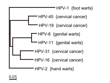 hpv magas kockázatú genotípus)