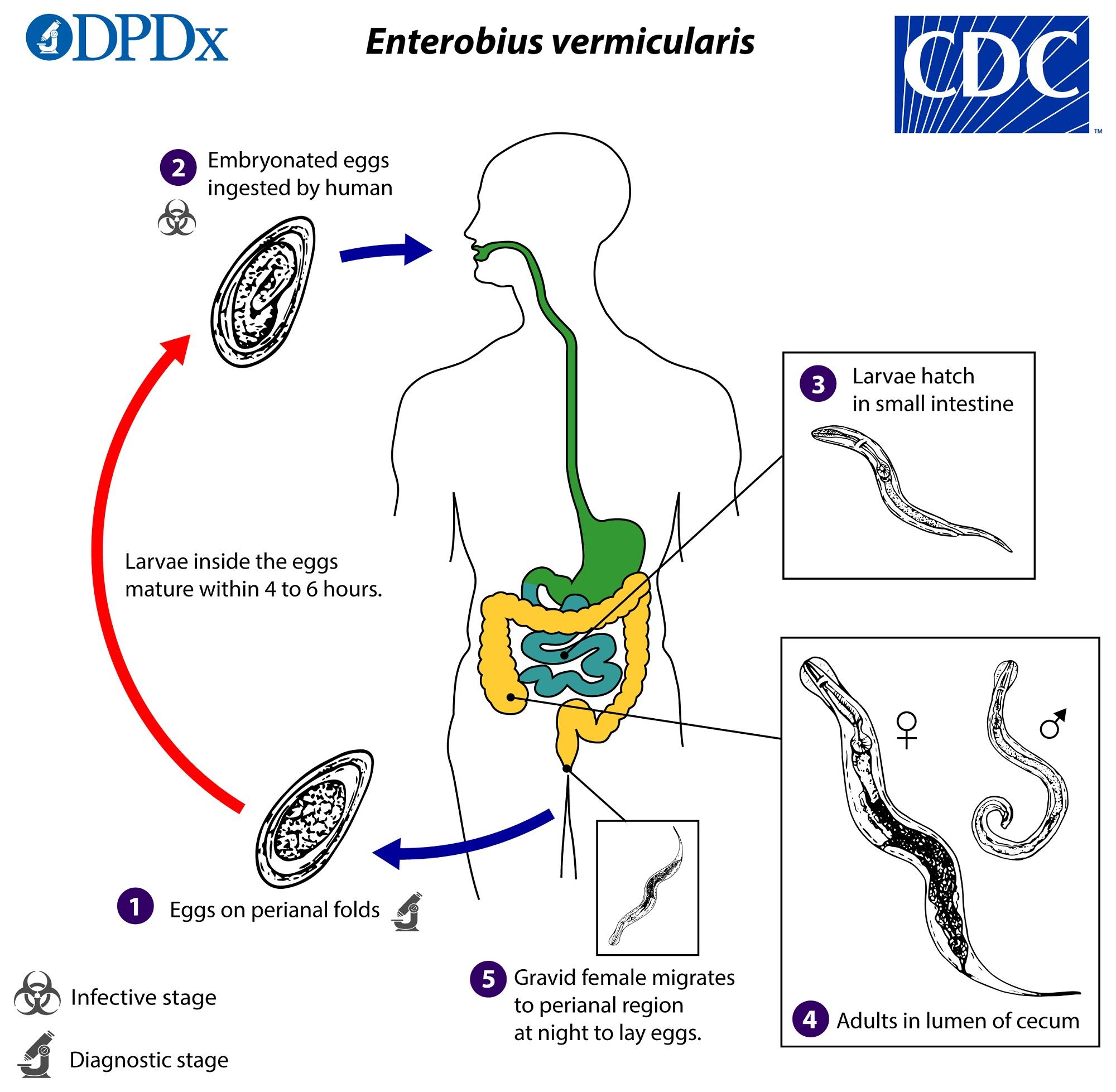 enterobius vermicularis kontil milyen szemölcsök és hogyan néznek ki