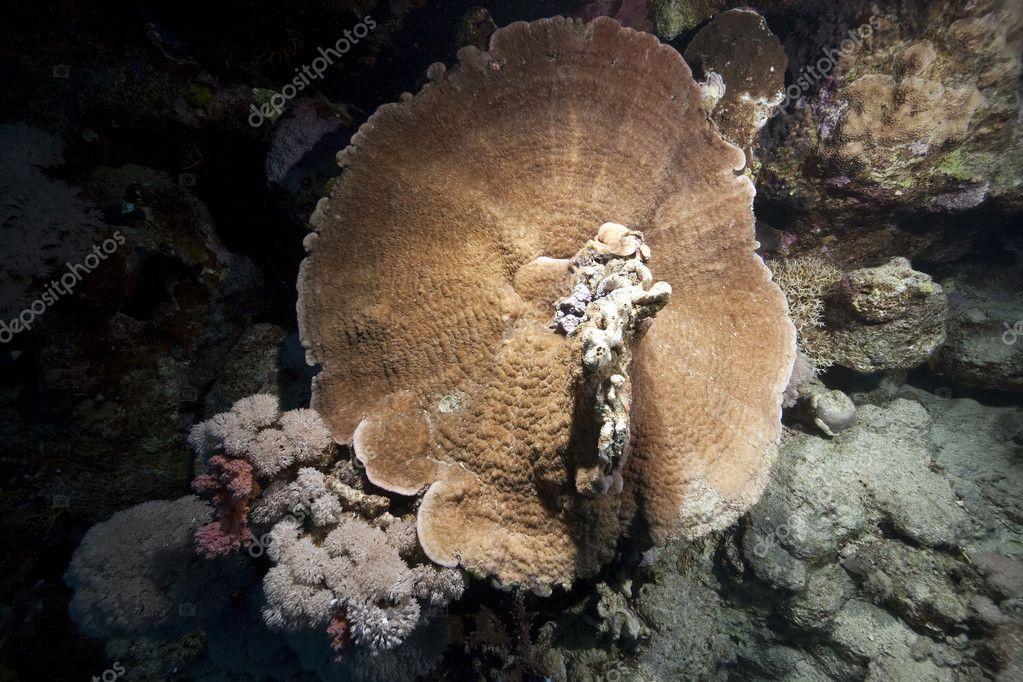 tengeri gomba