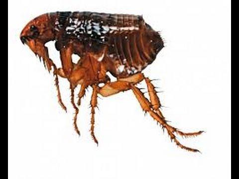 férgek és bolhák komplex előkészítése pinworms gyógyszerek az ellenük való küzdelem érdekében