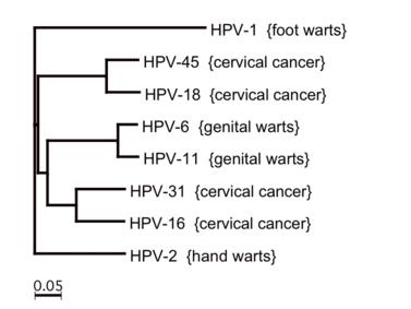 papilloma genotípusok