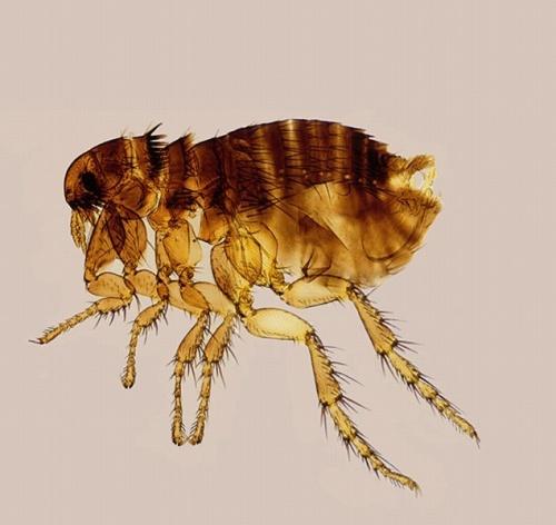 Parazita termékek tollakkal. Hogyan lehet kezelni egy budgerigar paraziták