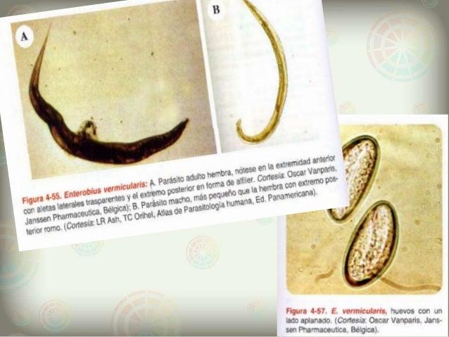 az enterobius vermicularis okozza