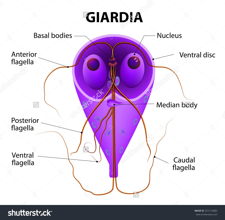 giardia canina otthoni gyógymód csökkentve a genitális szemölcsök csökkenését