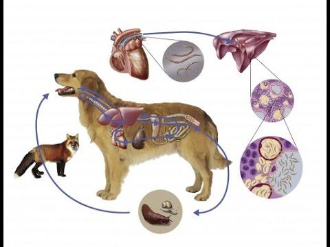 pinworms kezelő kutyák giardia ciszták a környezetben