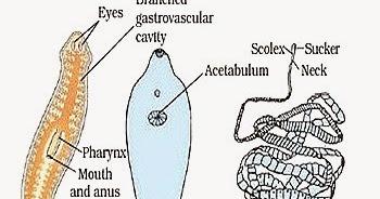 platyhelminthes 2 cestoda munkalap vestibularis papillomatosis hisztopathology
