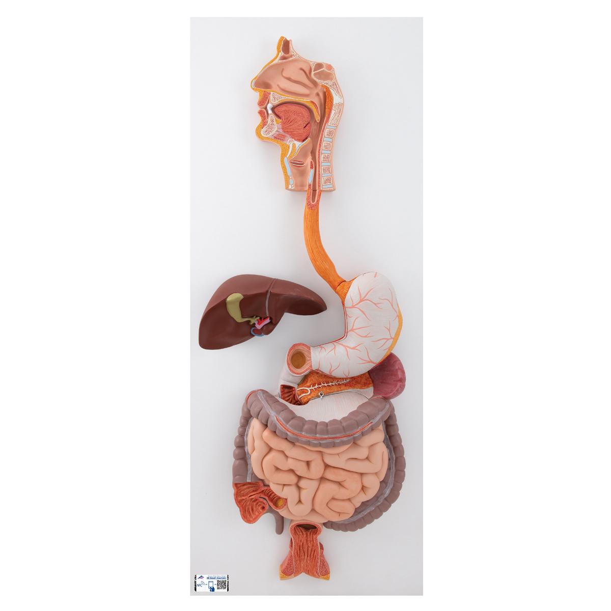 hasi fájdalom helminthiasis nyálkahártya kezelése