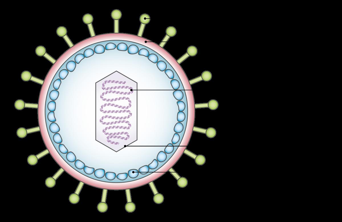 a papilloma vírus vírusa lázat hordoz