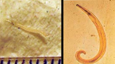 Kerekféreg féreg kezelés Enterobiosis szűrési eredmények