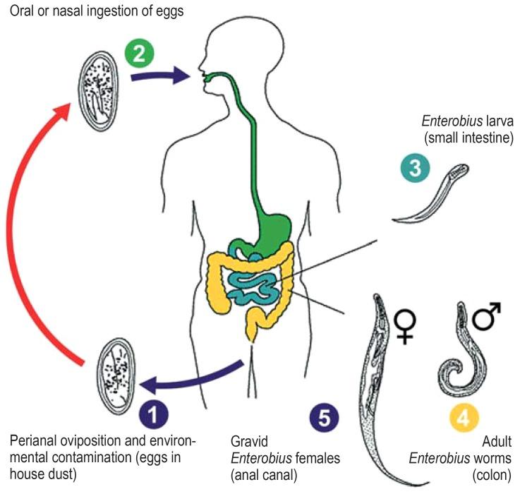 pinworm kezelések)