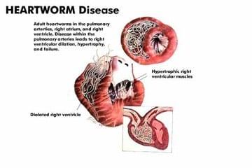 Giardia infection giardiasis) Rizs Giardia-ból