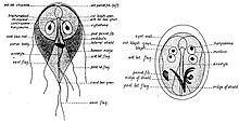 ciste giardia duodenalis