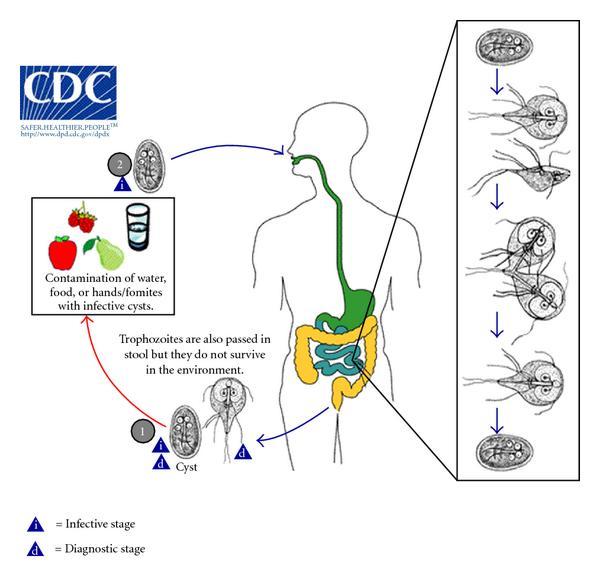 giardien mensch ubertragung a papillómák vírusellenes gyógyszerekkel történő kezelése a testen